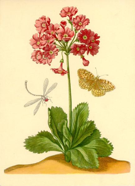 Grafika z pierwiosnkiem ważką i motylem wykonana w technice druku barwnego na podstawie miedziorytu Marii Sibylli Merian z przełomu XVII i XVIII wieku