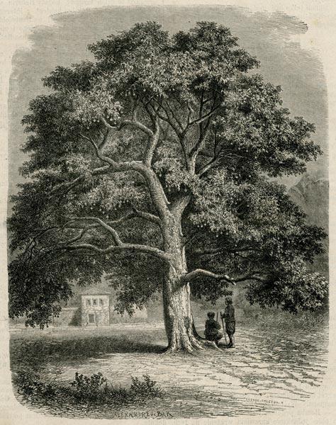 Grafika w technice drzeworytu sztorcowego przedstawiająca wielkie drzewo w Dalmacji