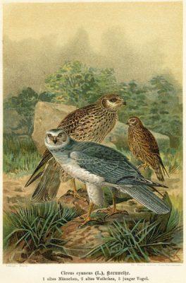 Grafika w technice litografii z przełomu XIX i XX wieku z przedstawieniem 3 ptaków drapieżnych z rodziny jastrzębiowatych