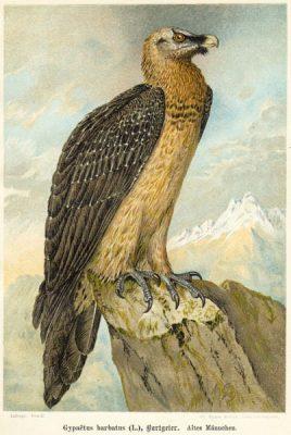 Grafika w technice litografii z przełomu XIX i XX wieku z przedstawieniem ptaka drapieżnego z rodziny jastrzębiowatych