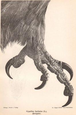 Grafika w technice litografii z przełomu XIX i XX wieku z przedstawieniem nogi ptaka drapieżnego - orłosępa brodatego