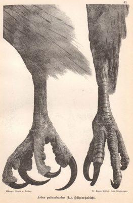 Grafika w technice litografii z przełomu XIX i XX wieku z przedstawieniem nóg ptaka drapieżnego z rodziny jastrzębiowatych