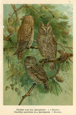 Grafika w technice litografii z przełomu XIX i XX wieku z przedstawieniem gatunków sów: Pisorhina scops i Glaucidium passerinum