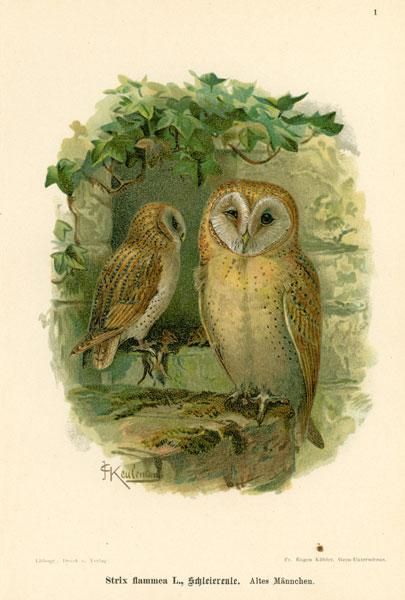 Grafika w technice litografii z przełomu XIX i XX wieku z przedstawieniem gatunku sowy: Strix flammea