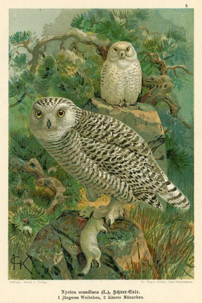 Grafika w technice litografii z przełomu XIX i XX wieku z przedstawieniem gatunku sowy: Nyctea scandiaca