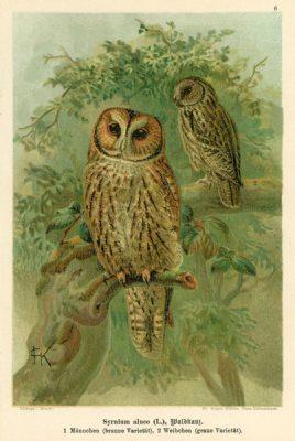 Grafika w technice litografii z przełomu XIX i XX wieku z przedstawieniem gatunku sowy: Syrnium aluco