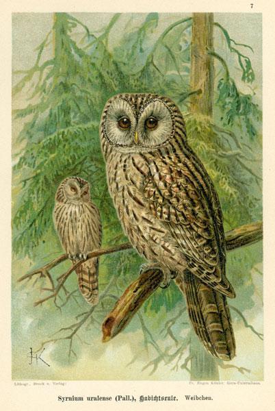 Grafika w technice litografii z przełomu XIX i XX wieku z przedstawieniem gatunku sowy: Syrnium uralense
