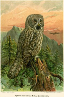 Grafika w technice litografii z przełomu XIX i XX wieku z przedstawieniem gatunku sowy Syrnium Lapponicum