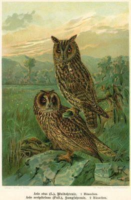 Grafika w technice litografii z przełomu XIX i XX wieku z przedstawieniem gatunku sowy uszatej