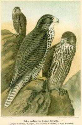 Grafika w technice litografii z przełomu XIX i XX wieku z przedstawieniem ptaka drapieżnego z rodziny sokołowatych
