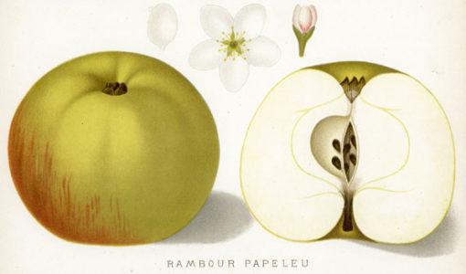 Niemiecka grafika z serii Deutsche Polomogie autorstwa W. Lauche wykonana w 1882 r. Chromolitografia przedstawia jabłko