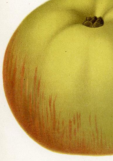 jego przekrój oraz kwiat jabłoni z gatunku Rambour Papeleu.