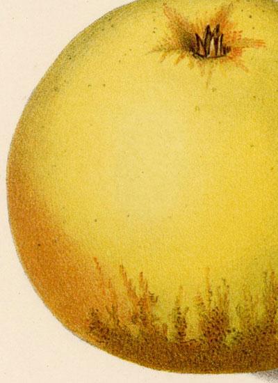 jego przekrój oraz kwiat jabłoni z gatunku winter quittenapfel.