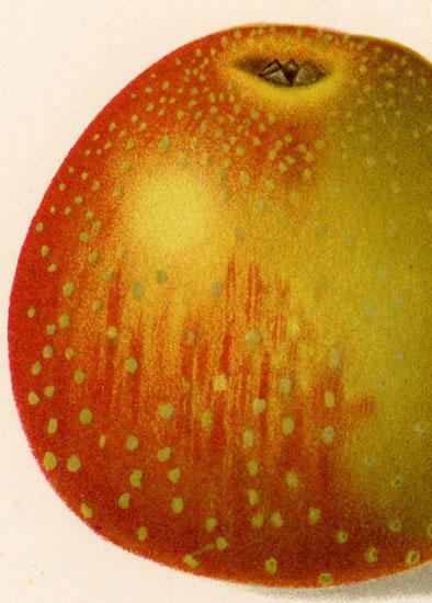jego przekrój oraz kwiat jabłoni z gatunku adams parmaene.