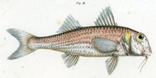 Niemiecka grafika w technice chromolitografii z przełomu XIX i XX wieku przedstawiająca rybę z rodziny barwenowatych.