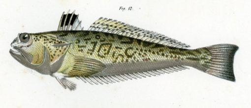 Niemiecka grafika w technice litografii z przełomu XIX i XX wieku przedstawiająca rybę z rodziny ostroszowatych.