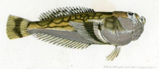 Grafika w technice litografii z przełomu XIX i XX wieku przedstawiająca rybę z gatunku skaberowatych.
