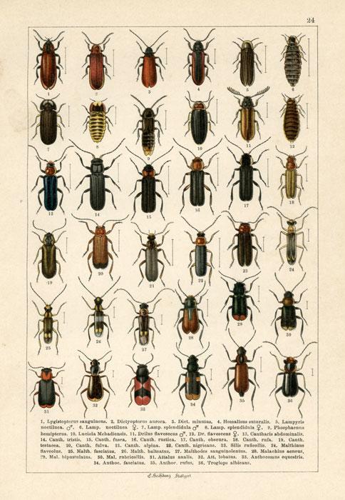 Oryginalna niemiecka grafika przedstawiająca owady (żuki) wykonana w technice chromolitografii w II połowie XIX wieku przez wydawnictwo Emil Hochdanz