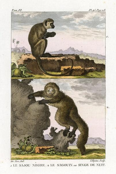 Miedzioryt kolorowany z 1822 roku przedstawiający małpy (le sajou negre