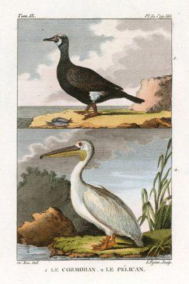Miedzioryt kolorowany z 1822 roku przedstawiający kormorana i czaplę (le cormoran