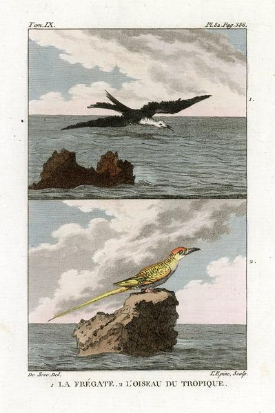 Miedzioryt kolorowany z 1822 roku przedstawiający ptaki (la fregate