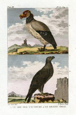 Miedzioryt kolorowany z 1822 roku przedstawiający ptaki (le roi des vautours