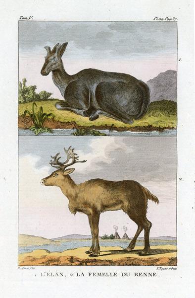 Miedzioryt kolorowany z 1822 roku przedstawiający renifera (l'elan