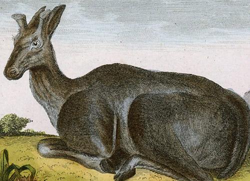 la femelle du renne). Rytował L'Epine wg Jacques de Seve.