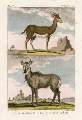 Miedzioryt kolorowany z 1822 roku przedstawiający gazelę
