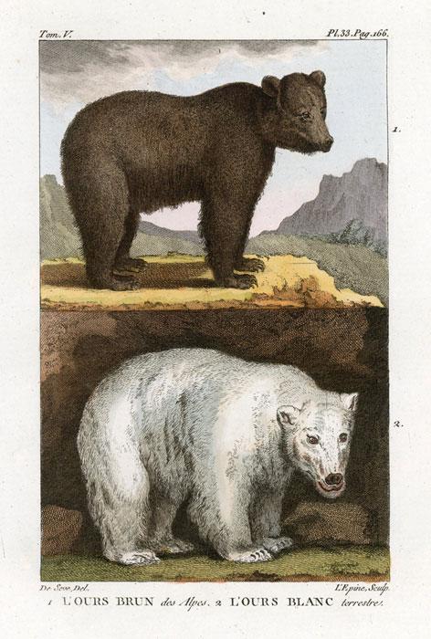 Miedzioryt kolorowany z 1822 roku przedstawiający niedźwiedzia białego i brunatnego  (L'ours brun des Alps