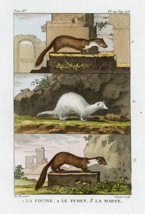 Miedzioryt kolorowany z 1822 roku przedstawiający kuny i fretkę  (La fouine