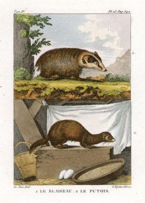 Miedzioryt kolorowany z 1822 roku przedstawiający borsuka i tchórza  (Le blaireau
