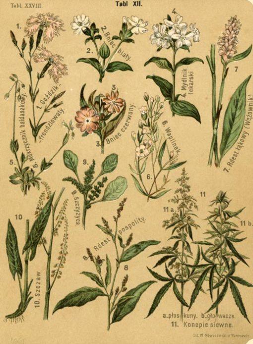 Oryginalna litografia przedstawiająca rośliny z zielnika zawierającego kilkadziesiąt plansz roślin: kwiatów
