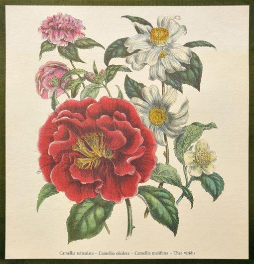 Grafika reprodukcyjna z II poł XXw wykonana na podstawie barwnej ryciny wykonanej przez francuskiego artystę Pierre-Joseph Redouté'a (1759-1840)