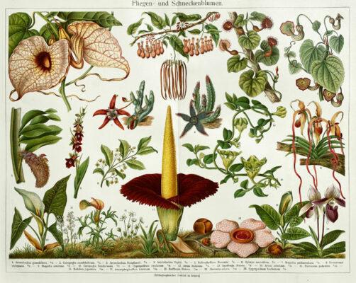 "Oryginalna stara grafika, rycina ""Fliegenblumen"", Meyers, ok. 1880"