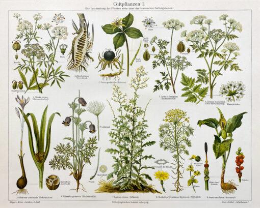 "Oryginalna stara grafika, rycina ""Giftpflanzen"", Meyers, ok. 1880"