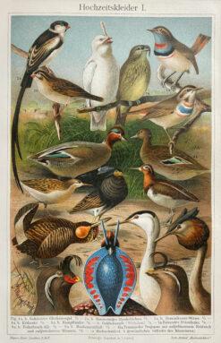 """Original old print engraving """"Pary ptaków"""", Meyers, ok. 1880"""