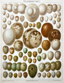 "Original old print engraving  ""Eggs"", Meyers, ok. 1880"