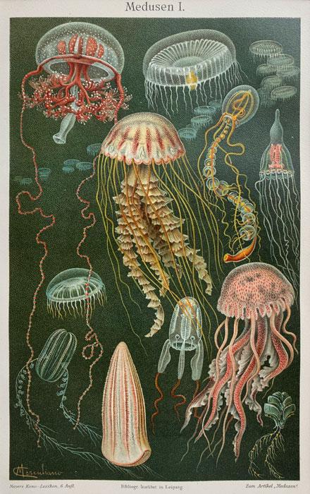 "Oryginalna stara grafika, rycina ""Meduzy"", Meyers, ok. 1880"