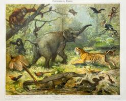 "Oryginalna stara grafika, rycina ""Orientalische Fauna"", Meyers, ok. 1880"