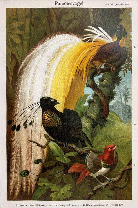"Oryginalna stara grafika, rycina ""Rajskie ptaki"", Meyers, ok. 1880"