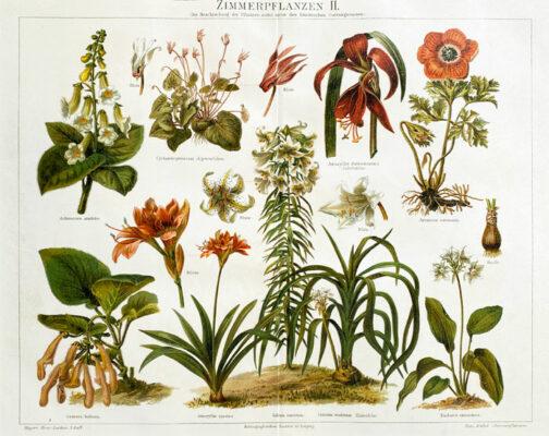 "Oryginalna stara grafika, rycina ""Zimmerpflanzen"", Meyers, ok. 1880"